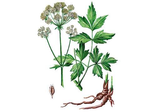 Трава любисток для лечения от алкоголизма: применение, рецепты, лечебные свойства и противопоказания